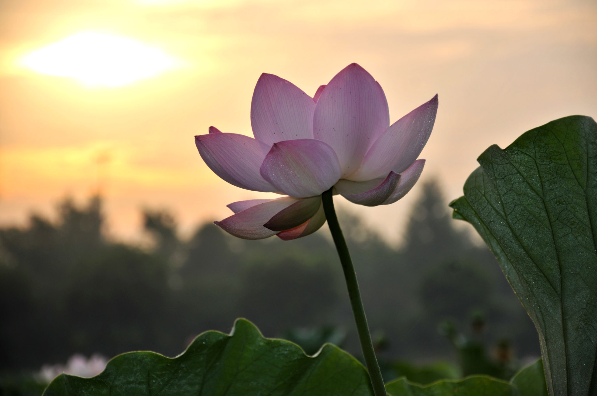 Breaking Through The Pain A Lotus Must Grow In The Mud Goalcast