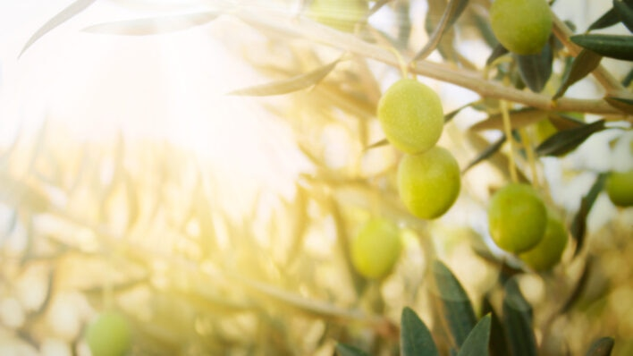 The Olive Tree and the Nature of Persistence