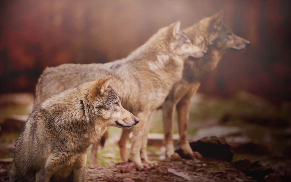 wolf-pack-truth-about-alphas