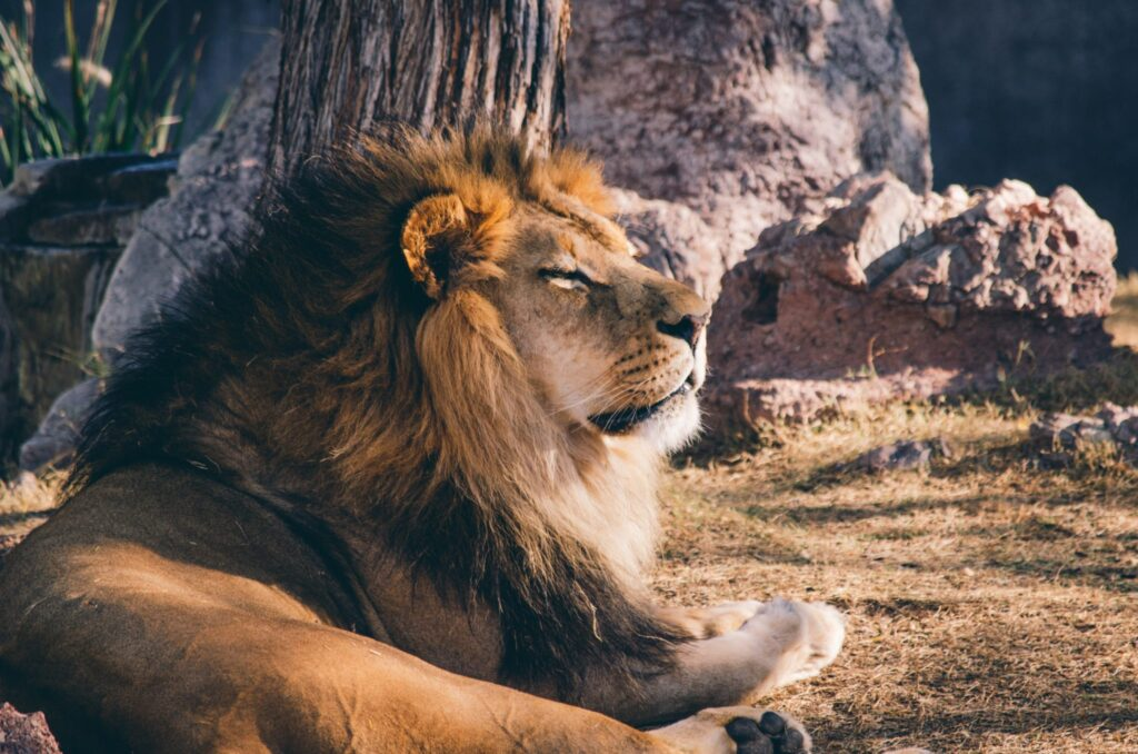 be-a-lion-when-negotiating