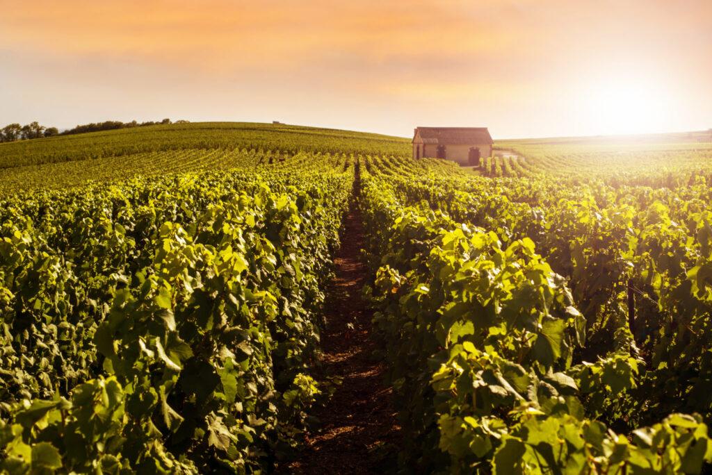 Champagne-vineyard